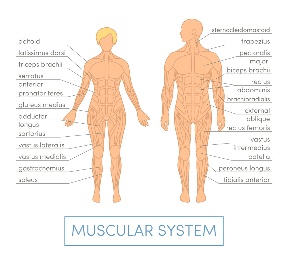 muscular system of male and females